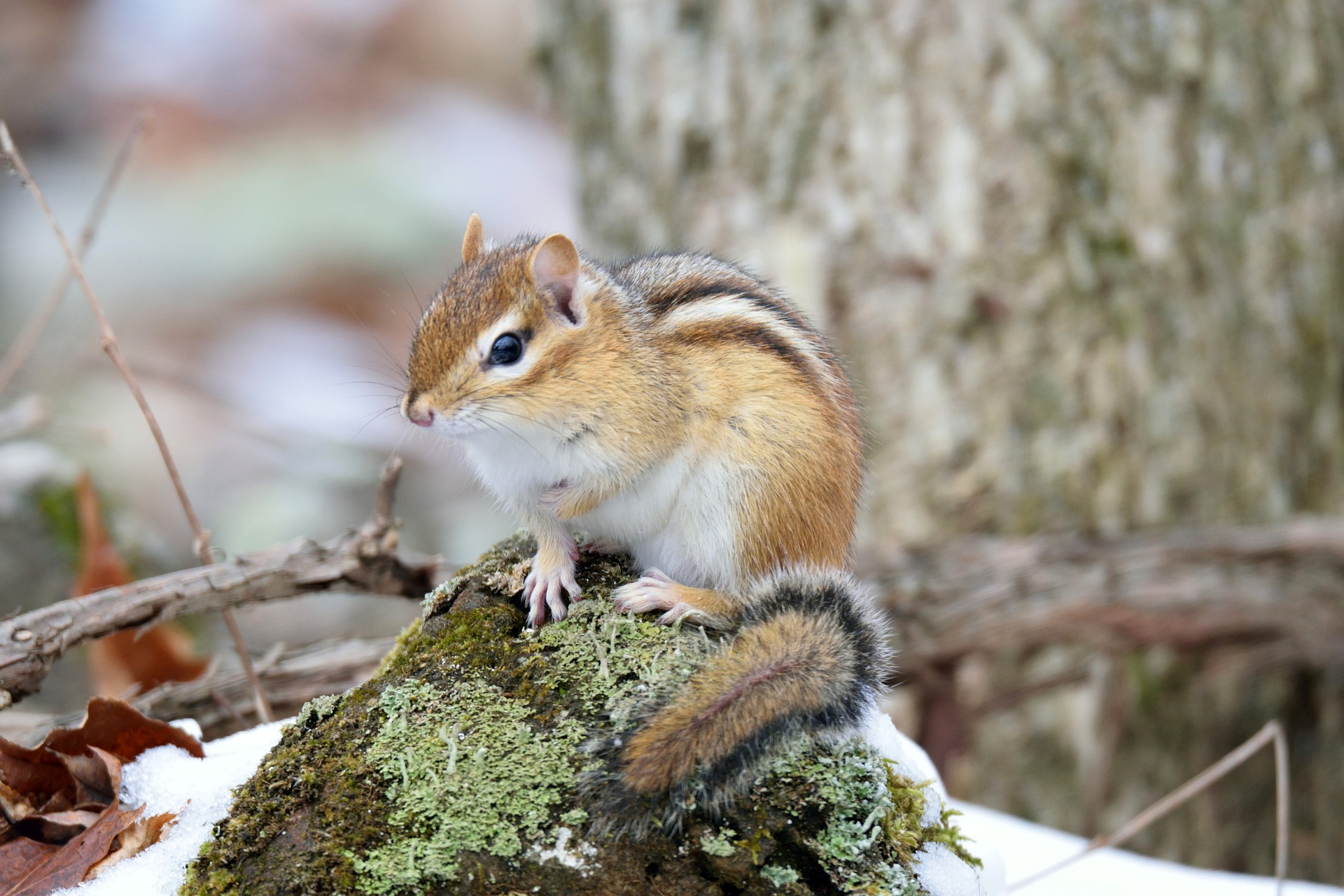 Image of chipmunk in forest