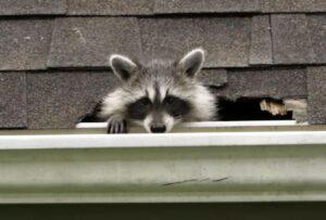 Image of raccoon damaging shingles