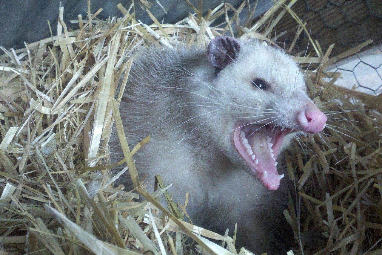 Photo of angry opossum bite