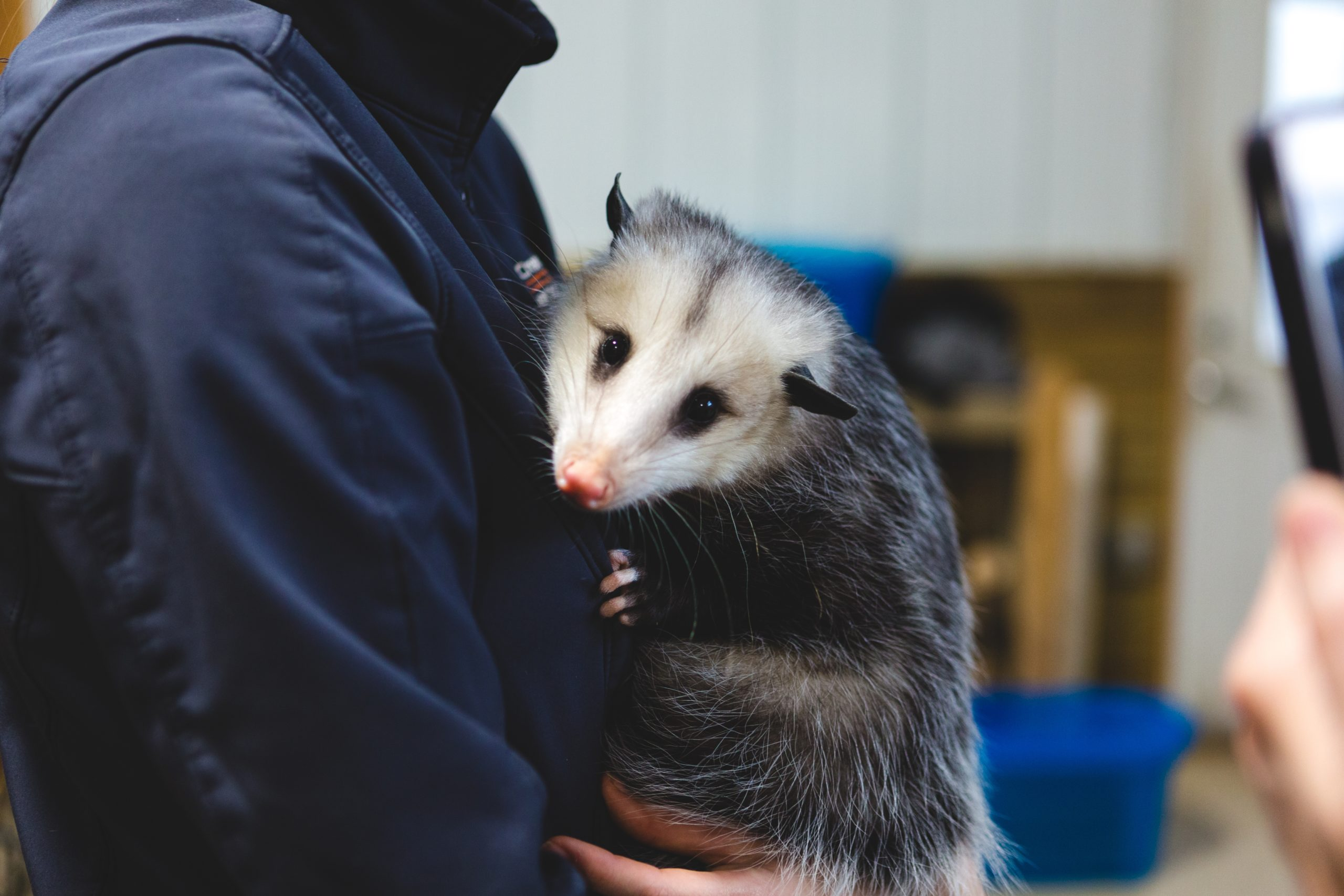 Photo of an opossum removed from a home