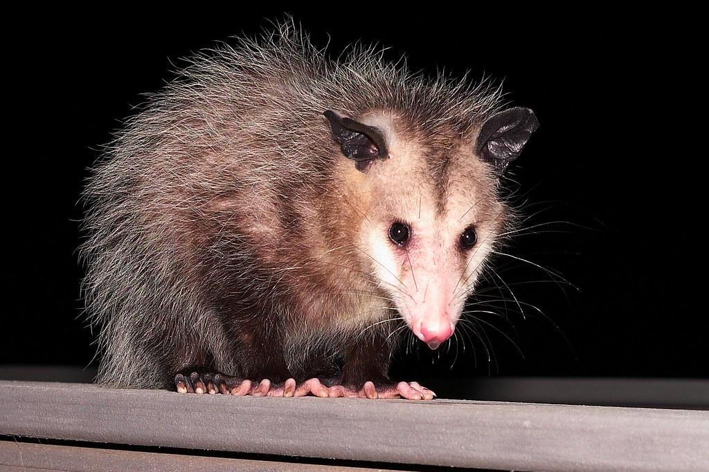 Image of opossum in the dark
