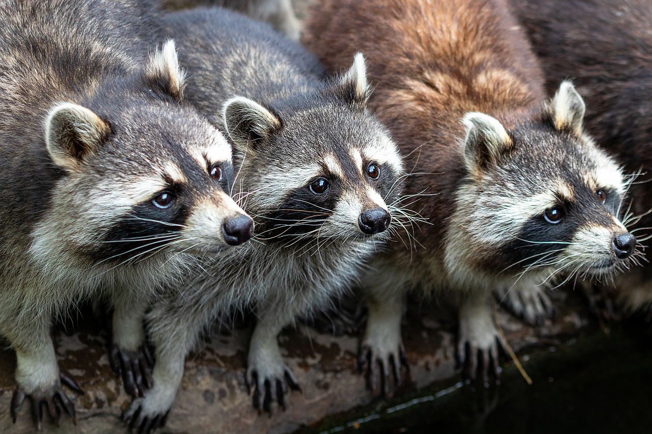 Picture of raccoons found in Lowell