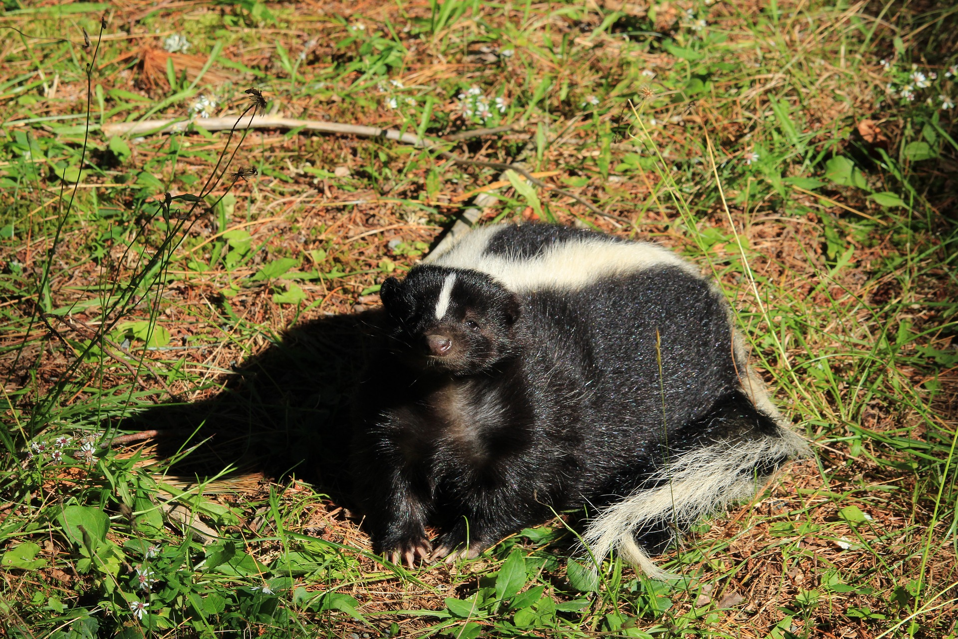 Photograph of skunk in backyard