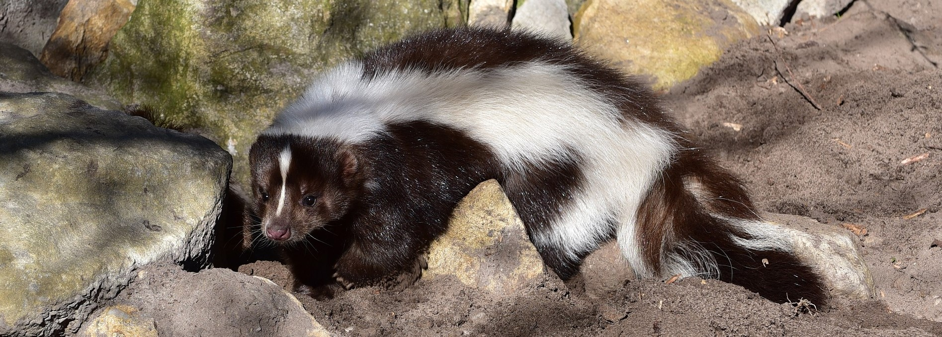 Picture of striped skunk in Caledonia backyard