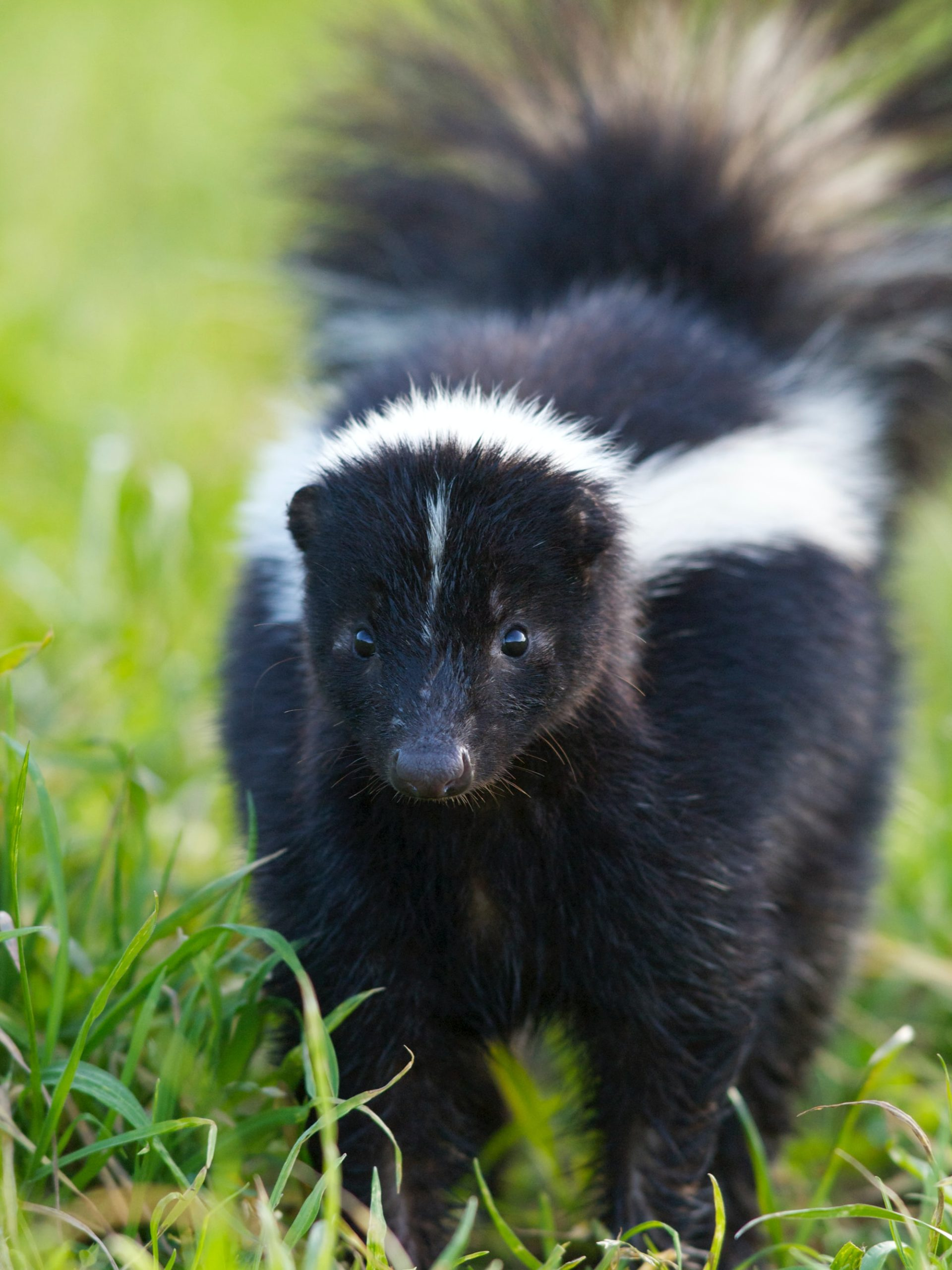 Image of striped skunk in holland michigan
