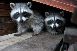 Picture of raccoons living in attic