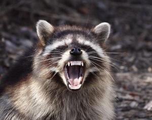 Photo of rabid raccoon