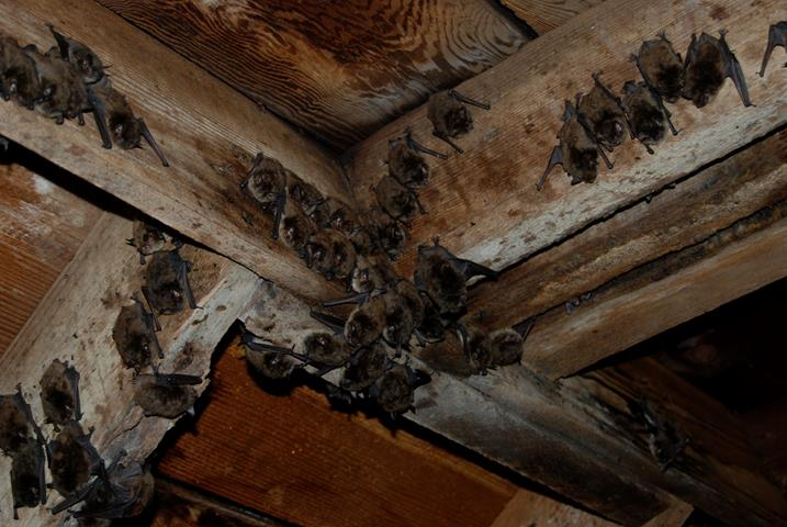 Picture of bats colony roosting on ceiling