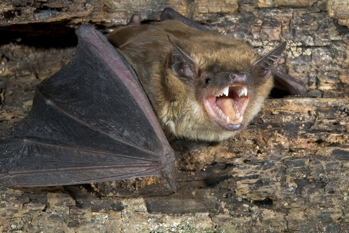 Image of a big brown bat found in Northview
