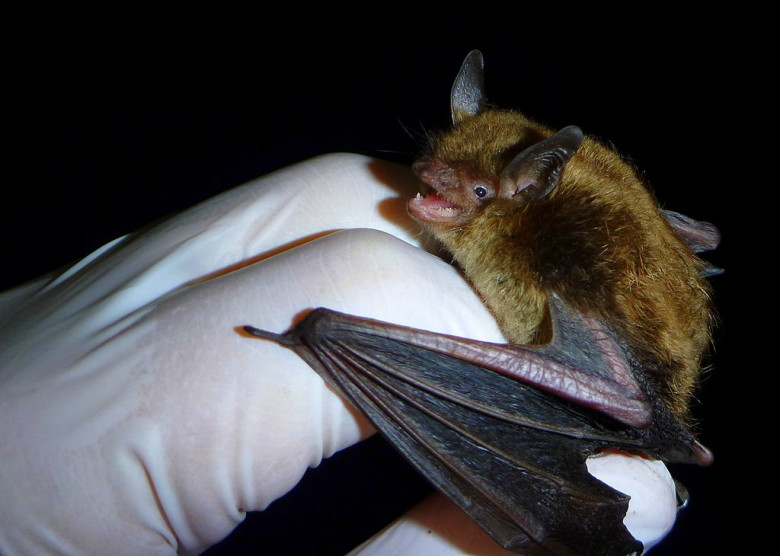 Image of a little brown bat removed from attic