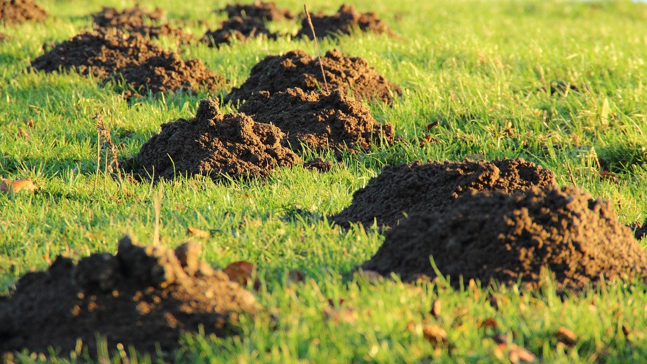 Photo mole hills lawn damage