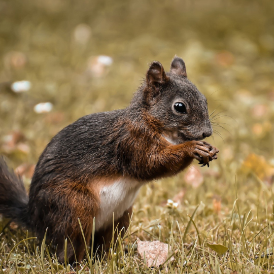 Picture of squirrel feeding in grass