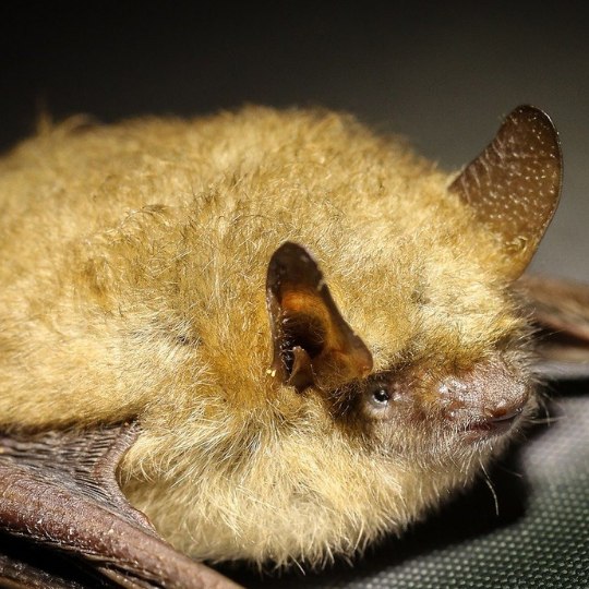 Photo of little brown bat