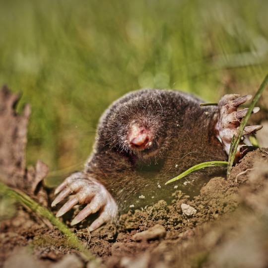 Photograph of mole tunneling in Michigan yard