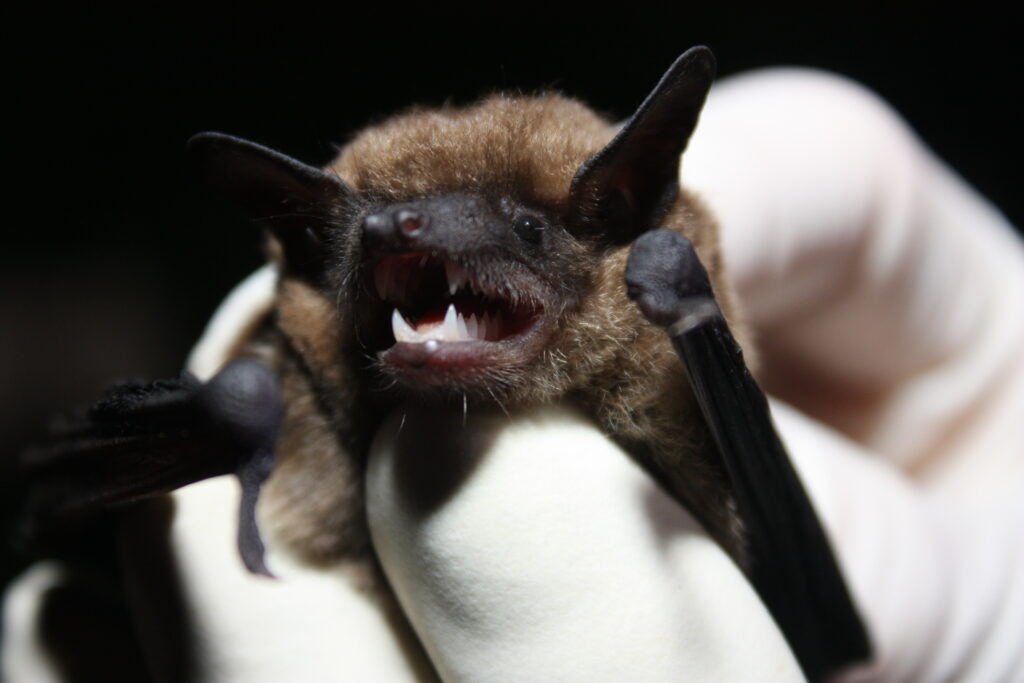 Picture of little brown bat teeth