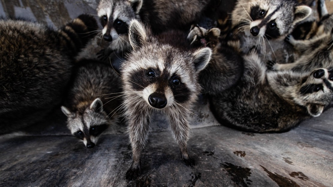 image of dangers of raccoons in a home attic